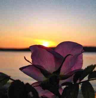 Visit the San Juan Islands - Lopez Island - Nootka Rose