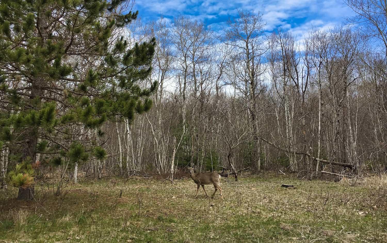 Acadia - Deer