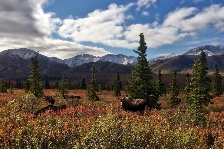 Moose in Denali National Park in Autumn