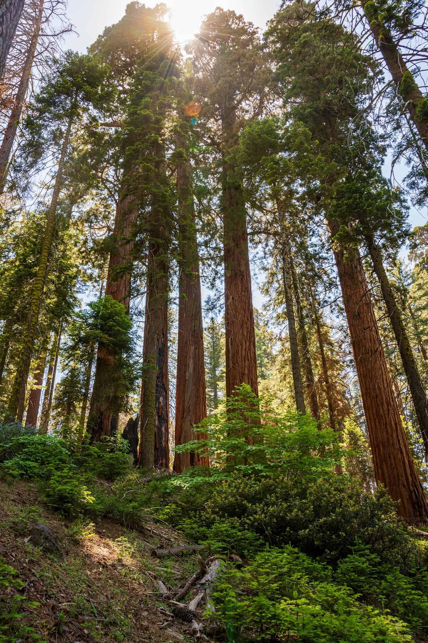 Redwoods Road Trip - Giant Redwoods