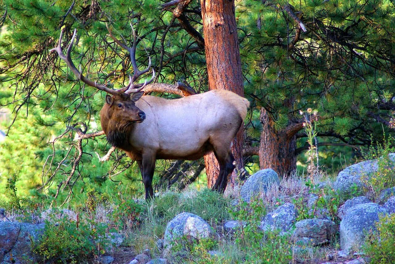 Colorado National Parks - Rocky Mountain NP Elk