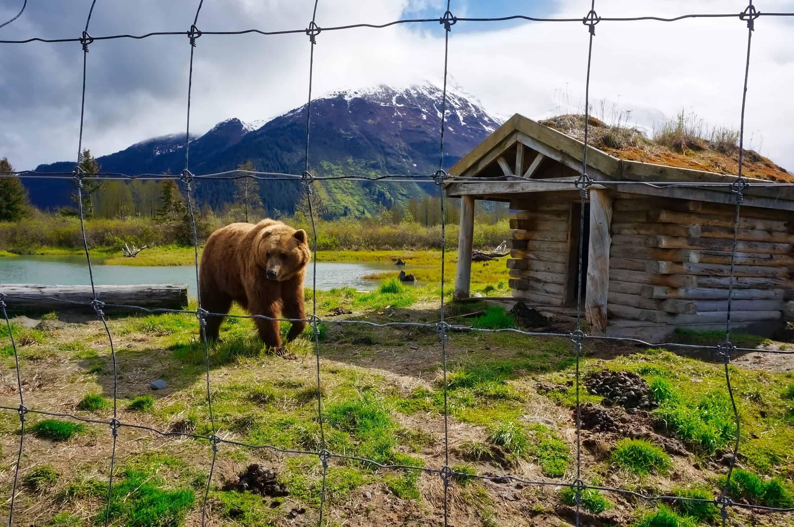 Alaska's Big 5 - Grizzly at Alaska Wildlife Conservation Center