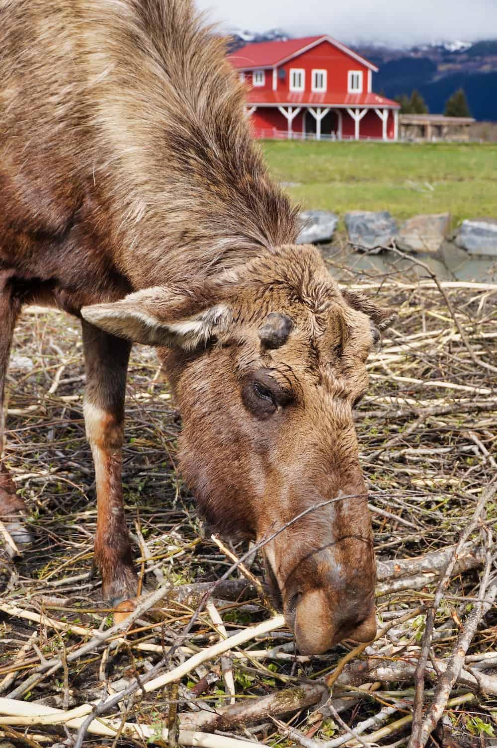 Alaska's Big 5 - Moose at Alaska Wildlife Conservation Center