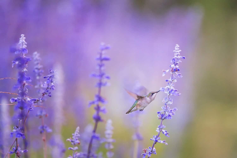California Flower Fields - Hummingbird in Lavender