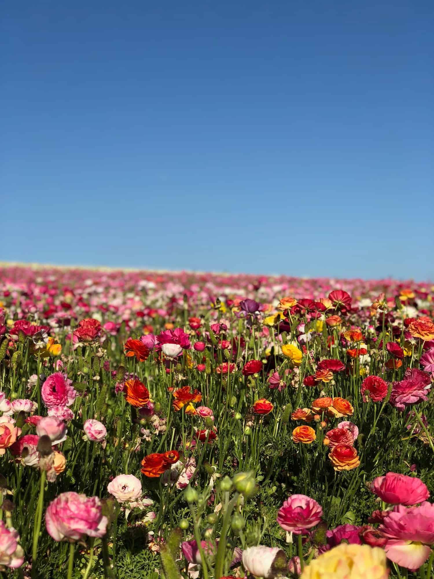 Flower Fields in California - Buttercups