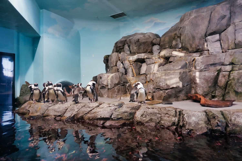 Penguins at the Monterey Bay Aquarium