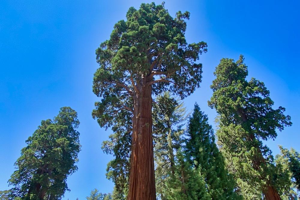Sequoia National Park - Giant Sequoias
