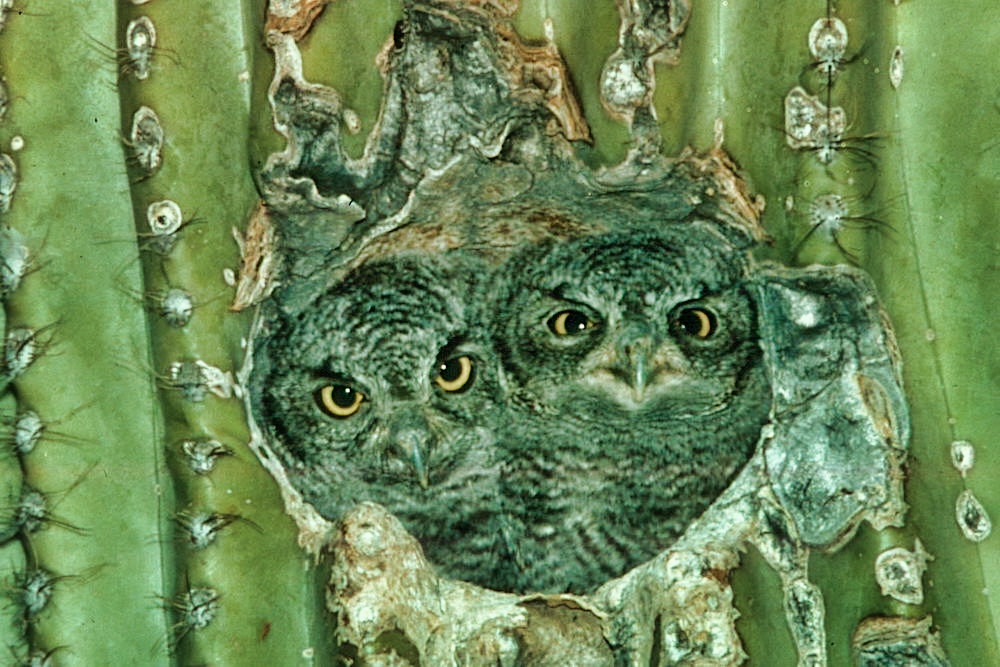 Saguaro National Park Itinerary - Owls in a Cactus