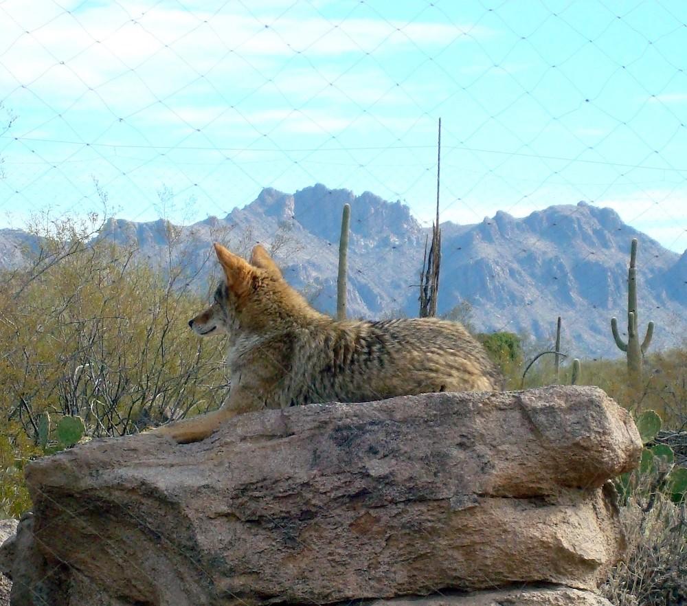 Sonoran Desert Museum - Coyote - Sean via Flickr