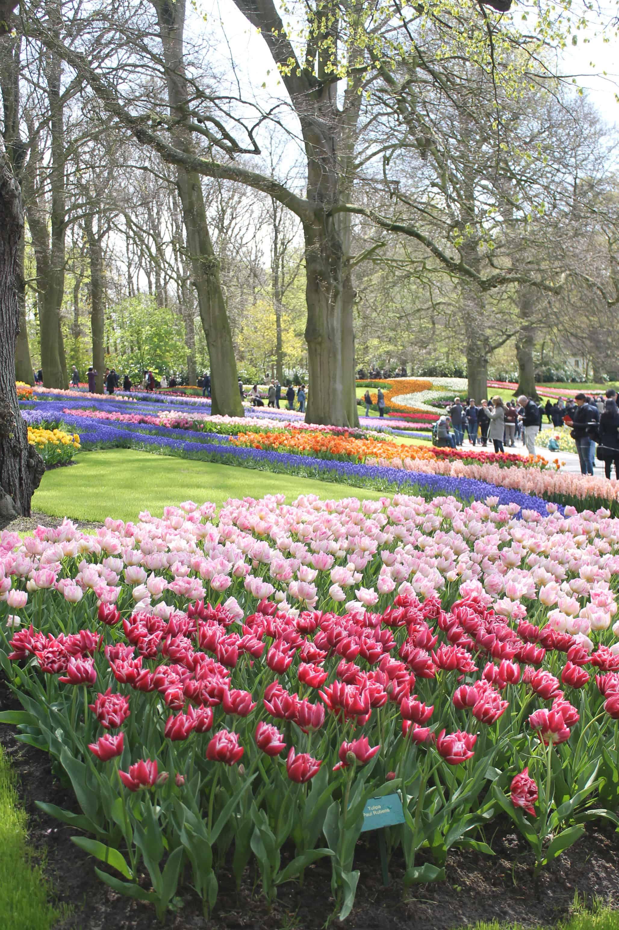 Tulips at Keukenhof garden, Netherlands