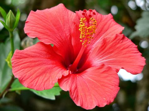 Image result for hibiscus images
