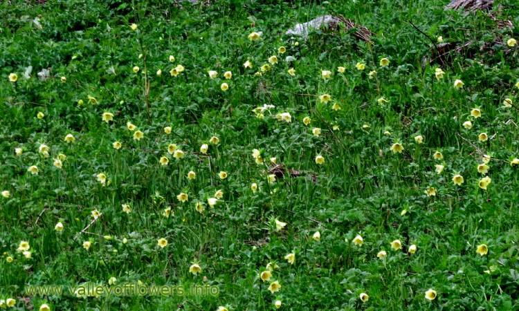 Colony of Golden Lilly in the month of June, this flower can be seen till 2nd week of July