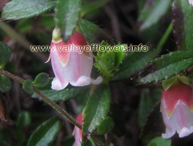 Gultheria, Creeping snowberry, East wintergreen, checkberry, Himalayan Snowberry