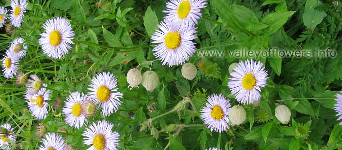 Erigeron Bellidioides in Valley of Flowers