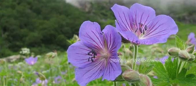 Geranium-wallichianum, Wallich's Geranium, Ratanjot, Kaphlya, Laljar in Valley of flowers