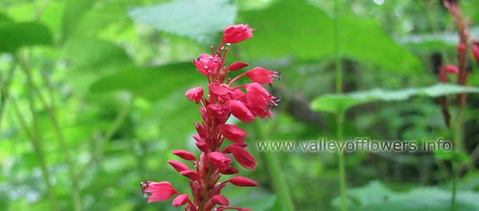 Polygonum Amplexicaule in Valley of Flowers