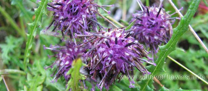 Saussurea Piptathera