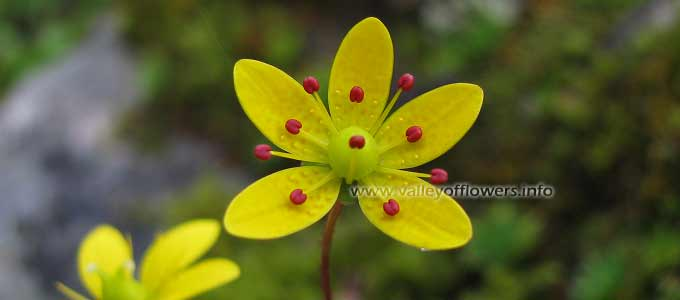 Saxifraga brunonis in Valley of flowers