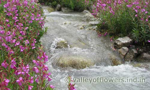 Epilobium Latifolium on the bank of shallow stream
