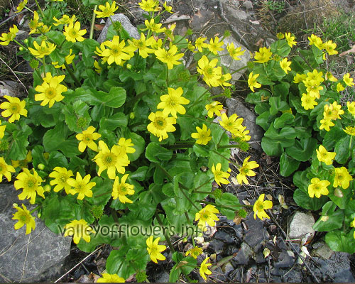 Caltha Palustris, Or Marsh Marigold