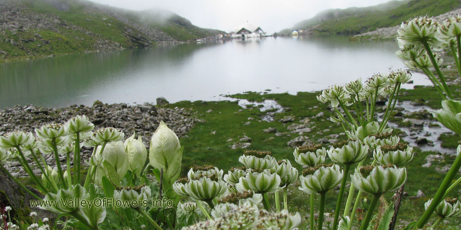 Valley of flowers piture gallery and wallpaper : Brahama Kamal at Hemkund Sahib