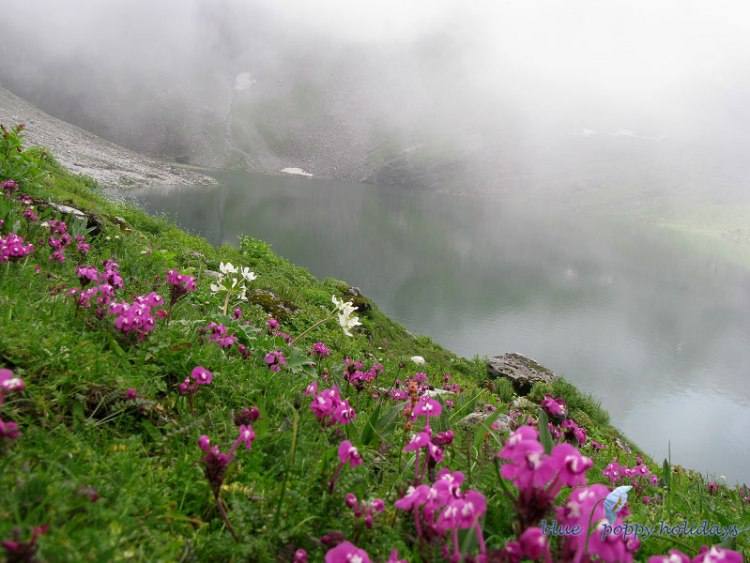 Also known as the Kashmir Lousewort it is a perennial herb found in the Himalayas, from Pakisan to Kashmir, at altitudes of 2700-4500 m. Flowers are pinkish red with a white spot in the throat, with a long slender flower tube. The lower lip of the flower is about 1.5 cm across, and the tube-like flower-tube is up to 2 cm long. Flowers are borne in rather dense short spikes, with pinnately lobed bracts. Their Leaves are oblong to elliptic in outline, with rather broad, ovate, finely toothed lobes. The plant usually has several stems, 10-25 cm tall. Flowering: July-September