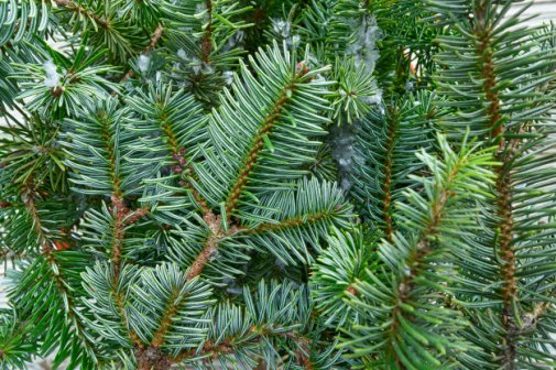 Valley Provincial, Christmas tree hire, office Christmas tree, South East office landscaping, London corporate landscaping, corporate Christmas tree, office grounds management, corporate planting, hotel landscaping