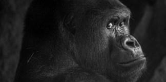 Gorila en el zoológico de Frankfurt