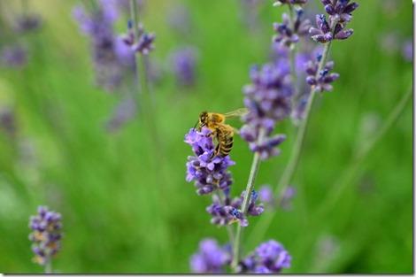 abejas (39)
