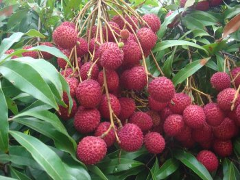 bunch of litchi fruits