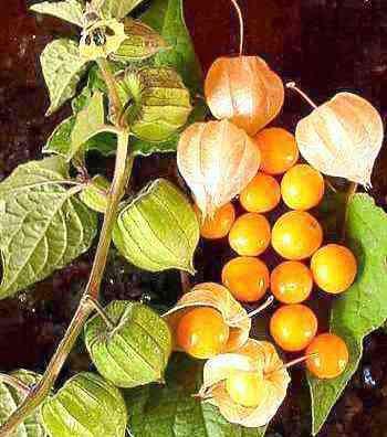 Cape gooseberry, Incan berry, Aztec berry, Golden berry, Giant ground cherry, Peruvian groundcherry, Peruvian cherry, Pichuberry, Pok pok, Poha, Ras bhari, Aguaymanto, Uvilla, Uchuva, Harankash