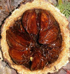 freshly opened brazil nut