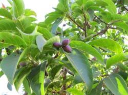 hirda fruits on tree