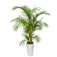 areca-palm-treeofe-029