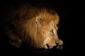 Afrika reizen:drinkende leeuw