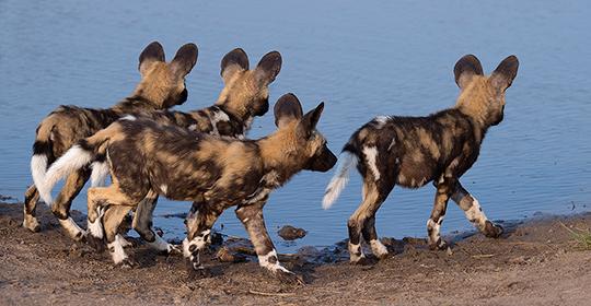 Botswana safaris- wild dogs