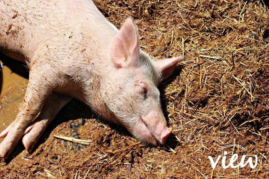Tiger Lily Farm pig