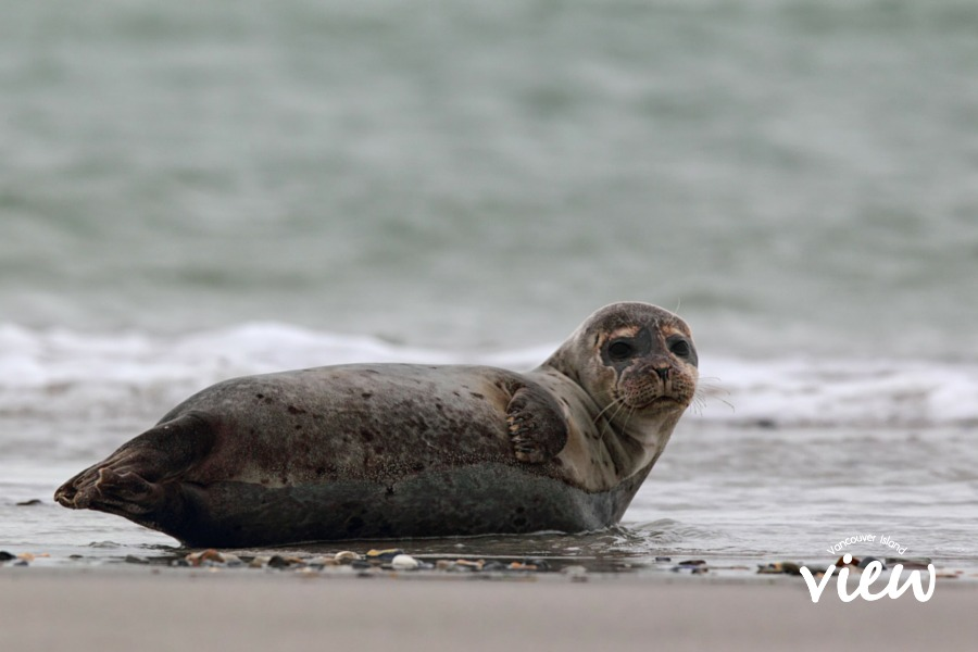 Snorkeling with seals - one of the must see stops on the Ultimate Vancouver Island Bucket List.