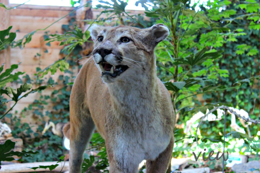 Cougar replica at the North Island Wildlife Recovery Centre