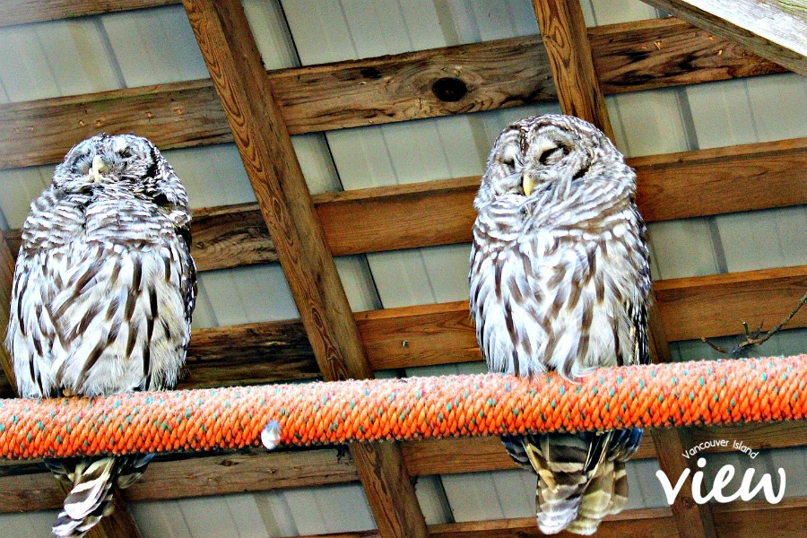 Owls at the North Island Wildlife Recovery Centre