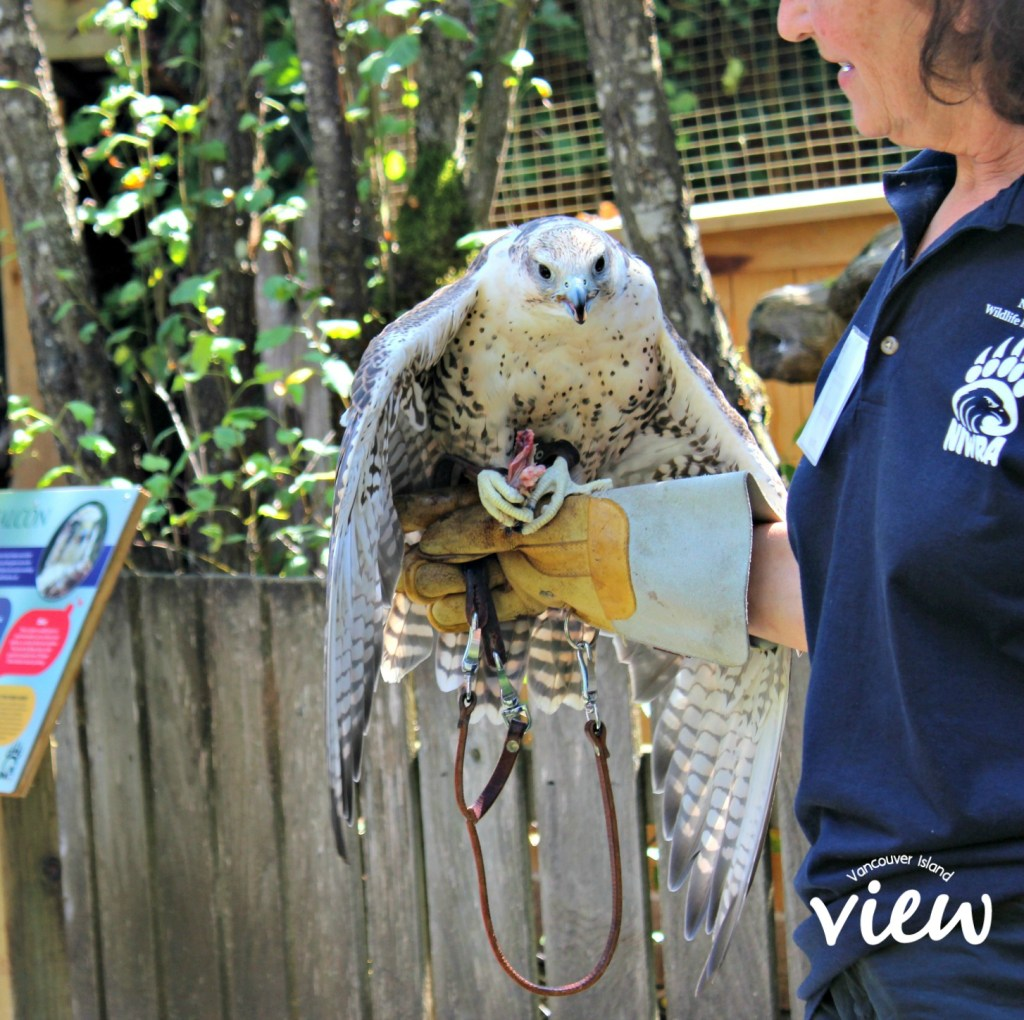 Saker Falcon at the North Island Wildlife Recovery Centre