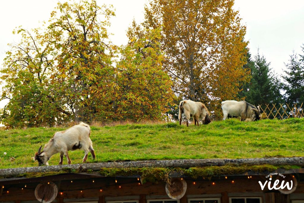 Goats on the Roof is just one of the many fantastic things to see and do around Coombs. If you are heading to the West Coast of Vancouver Island, Coombs is a must see stop!