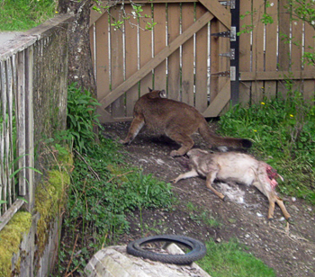 A cougar stands over a deer in a backyard in Nanaimo.