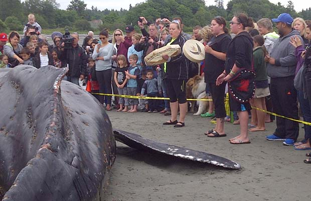 Juvenile humpback whale washes ashore, dies in White Rock (with video)