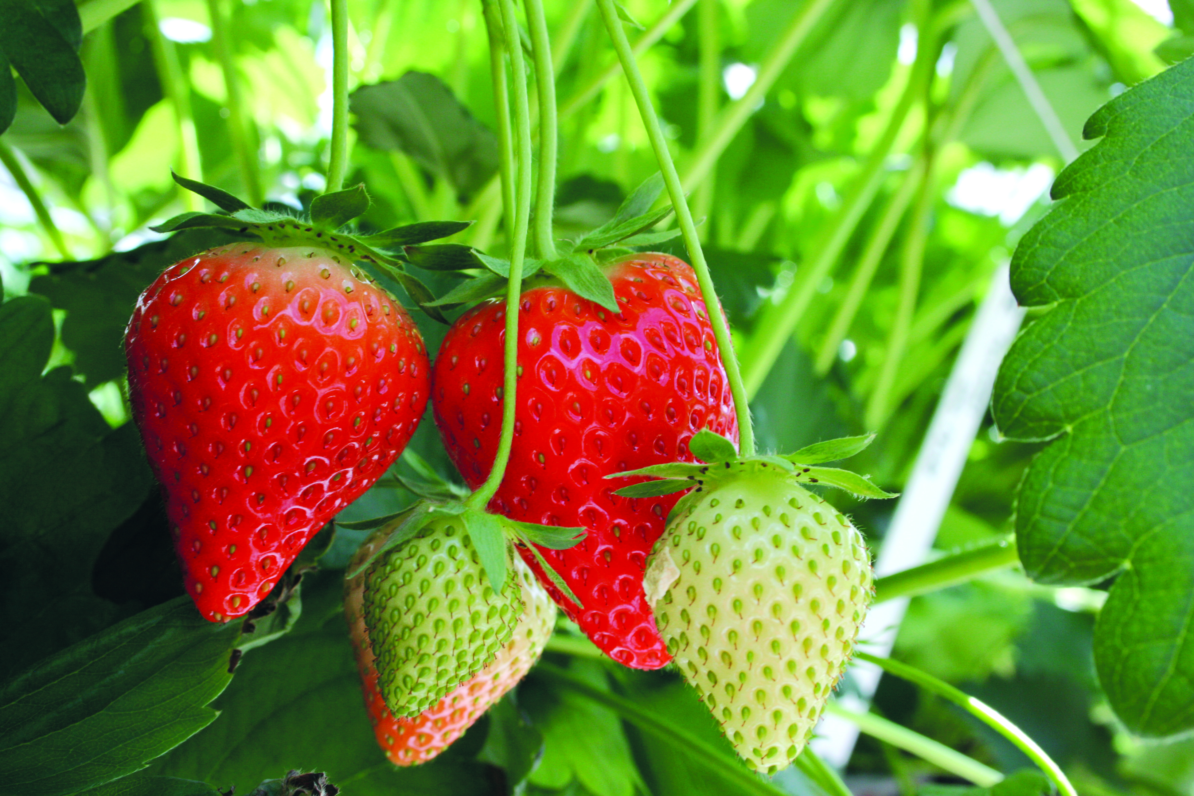Strawberry Runners Diagram Plant Structures Stems