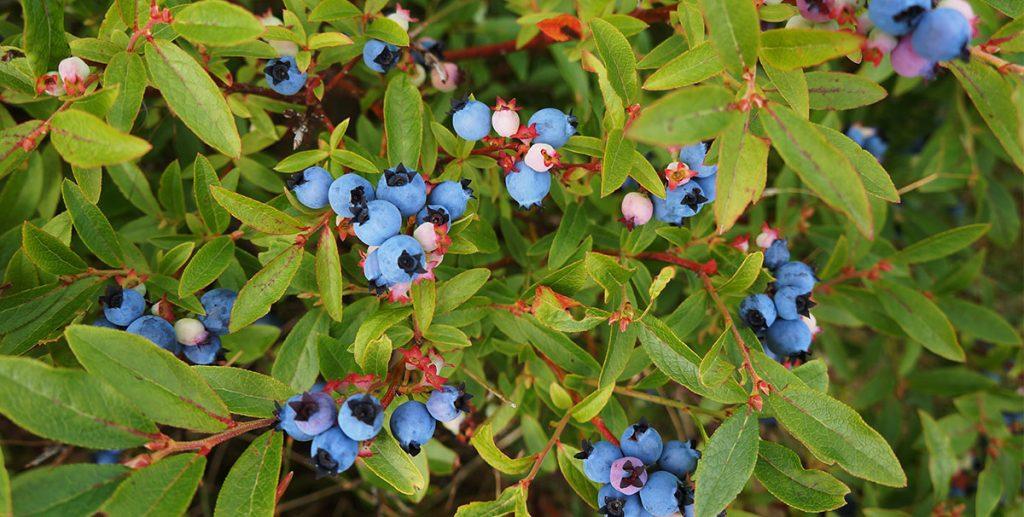 wild blueberries 6 things