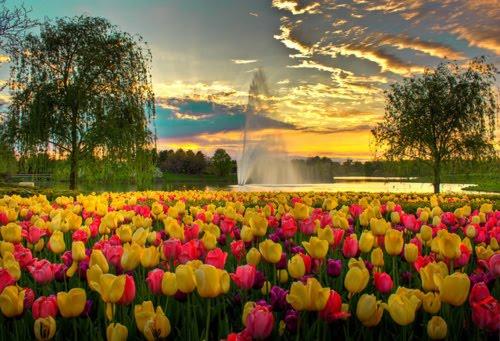 Spring Tulips, Chicago Botanic Garden, Glencoe, Illinois