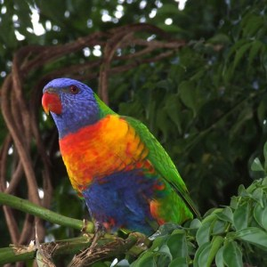 Animal: Rainbow Lorikeet