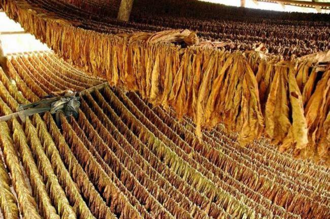 Resultado de imagen de tabaco caribe