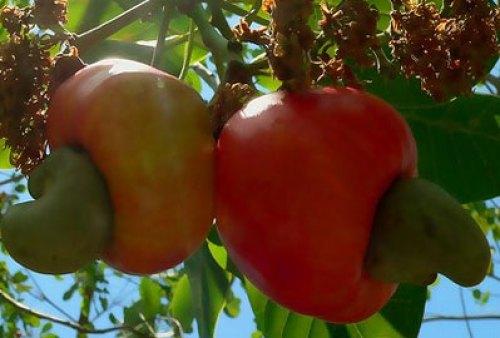 Cashew farmers raise alarm over illegal shipment of commodity